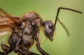 drone ant