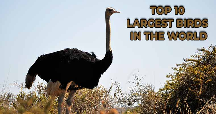 Top 10 largest birds in the world