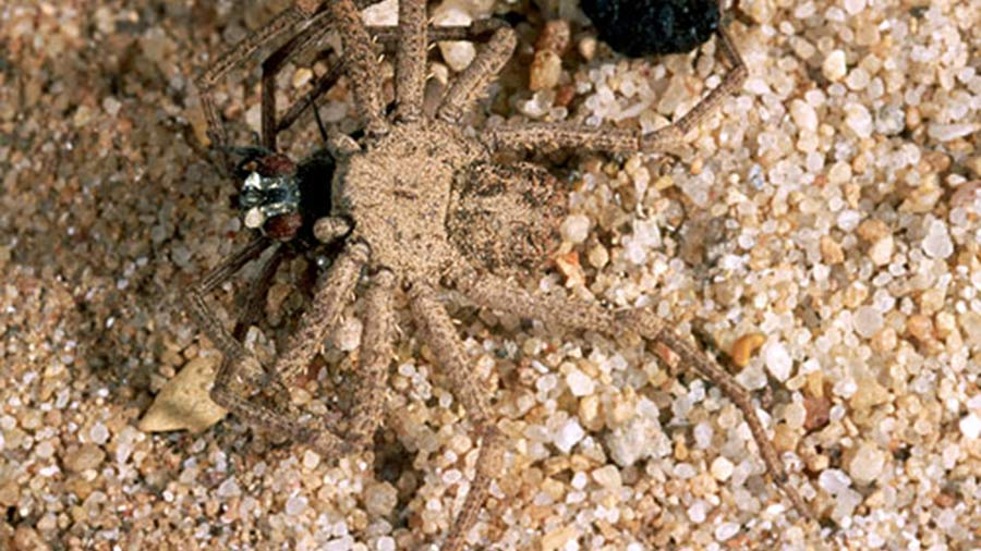 The Six Eyed Sand Spider